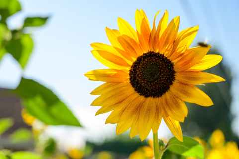 close up photo of sunflower